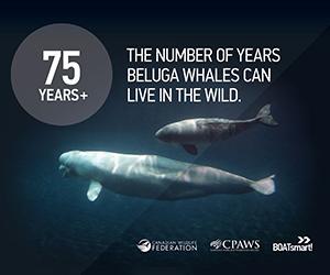 Wild Life Org - Beluga